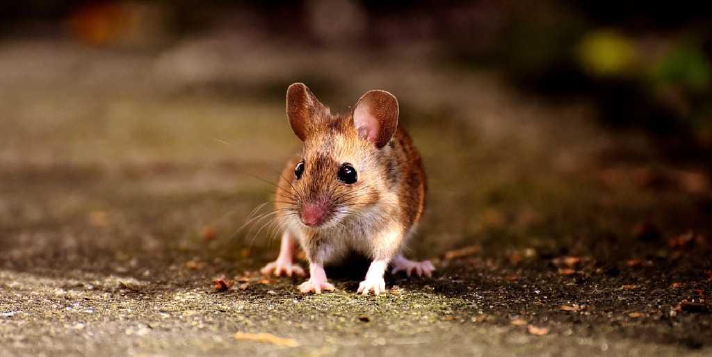 Source Alexas_Fotos / 19857 images, https://pixabay.com/es/photos/rat%C3%B3n-roedor-lindo-mam%C3%ADfero-nager-2308357/, re-sized